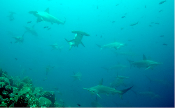 A school of hammerhead sharks swim near the Galapagos Islands. Costa Rica has been exporting two species of hammerheads whose trade is limited under Appendix II of CITES. Photo: Alex Hearn.