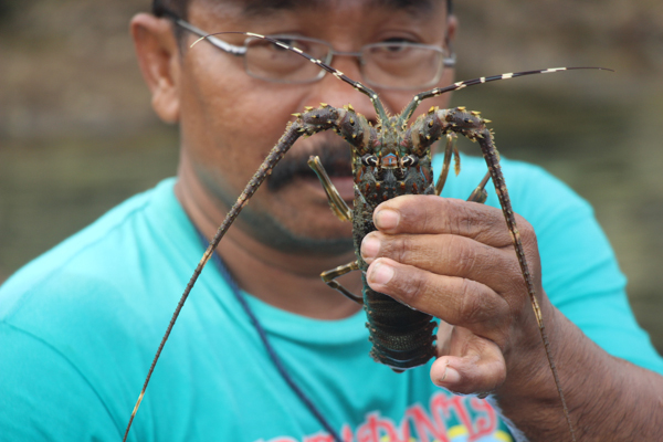 A fishing cooperative member holds up a two-ounce specimen at a lobster farm in Pantai Sepanjang, Central Java. Photo credit: Melati Kaye.
