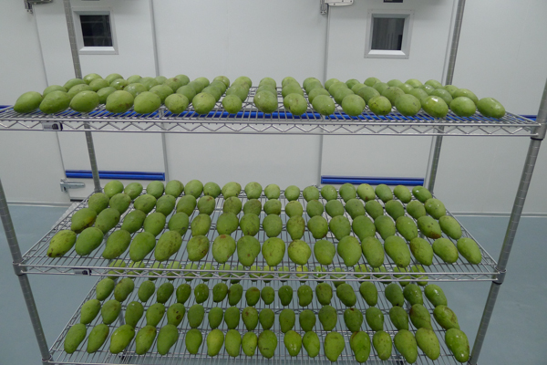 A gum-arabic-based coating is being tested on mangos at the Center of Excellence for Post-harvest Biotechnology (CEPB) in Malaysia. Photo by: CEPB.
