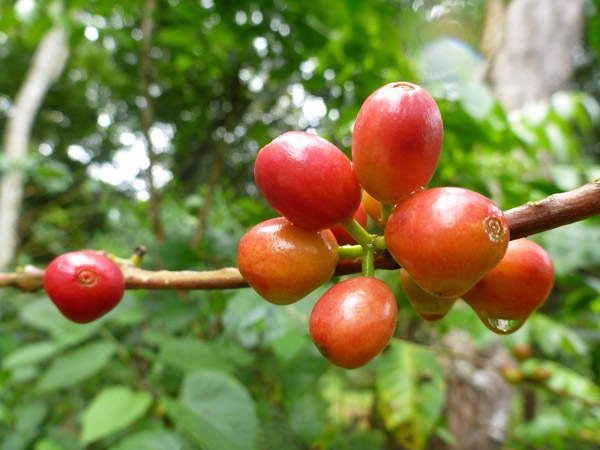 Ripe coffee cherries ready for picking. Photo credit: Evan Buechley.