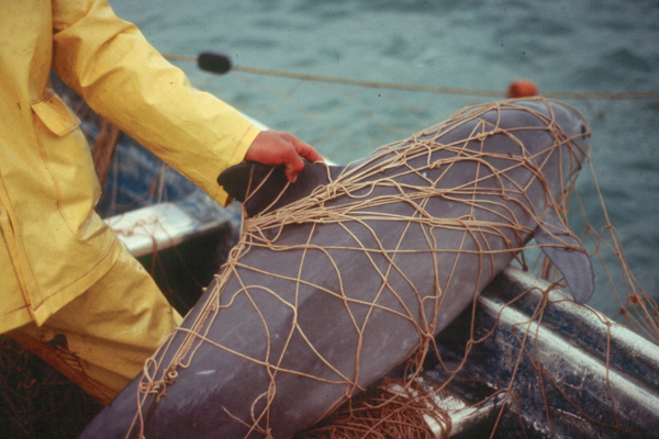 A fisherman hauls up a critically endangered vaquita porpoise accidentally entangled in his net in 2008. Entanglement in fishing gear threatens the species with extinction. Photo credit: Omar Vidal.