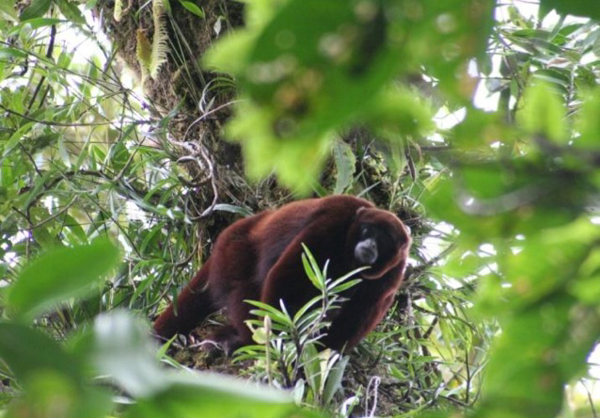An adult male yellow-tailed woolly monkey (Lagothrix flavicauda) in northeastern Peru. Photo credit: Sam Shanee.