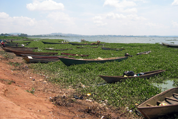 A thicket of invasive water hyacinth clogs a Ugandan shore of Lake Victoria. The weed has colonized huge swathes of the lake. Photo credit: sarahemcc.