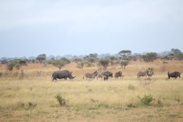 Rhinos mingle with other wildlife in Kruger National Park. Photo credit: Mic Smith.