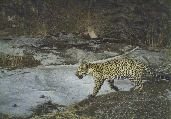 Libélula, the mother of the baby jaguar shown in the preceding picture, at the recently protected Bábaco ranch. Photo credit: Northern Jaguar Project / Naturalia.