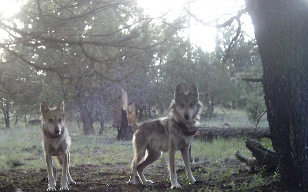 Young wild Mexican gray wolves in the Blue Range Wolf Recovery Area of Arizona and New Mexico, in 2007. Photo credit: Mexican Wolf Interagency Field Team.