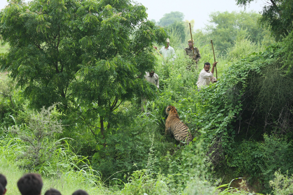 Men engage in a standoff with a tiger known as T-7 at Ranthambore Tiger Reserve in India. Tensions between tigers and people in and around the reserve run high. Tigers have killed nine people in the area since the reserve was opened in 1973. Photo credit: Dharmendra Khandal.