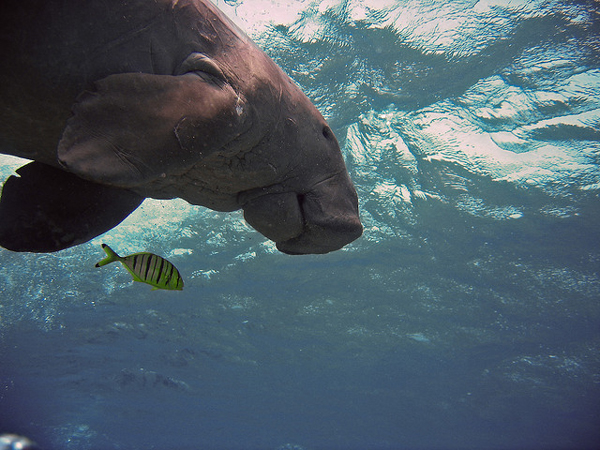 A dugong in Egypt. The species, a relative of the manatee, faces threats across its wide range, which includes 48 countries. Photo credit: Matthijs.