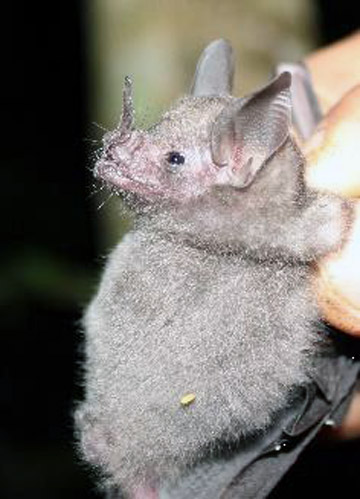 Sowell's Short-tailed bat (Carollia sowelli). Photo credit: Anna Horváth.