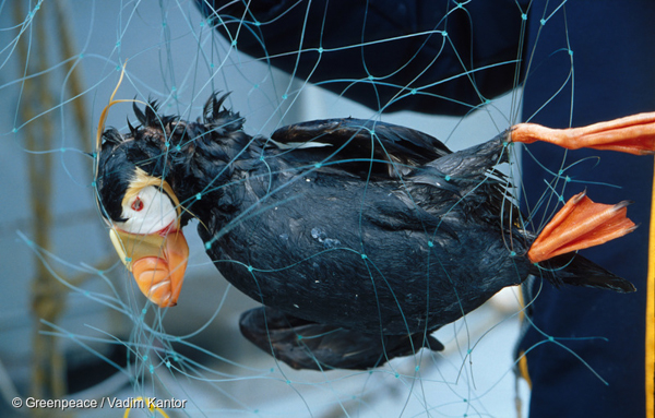A dead puffin caught in a driftnet in Russia's Kuril Islands. An estimated 140,000 seabirds are estimated to die in driftnets in Russia's exclusive economic zone. The country's new ban on drifnets is being hailed as a boon for seabirds and other marine life. Photo credit: © Greenpeace / Vadim Kantor