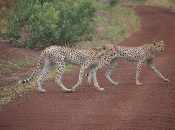 Cheetahs in the W-Arly-Pendjari complex (in Benin, Burkina Faso, and Niger), Photo credit: C. Pavey.