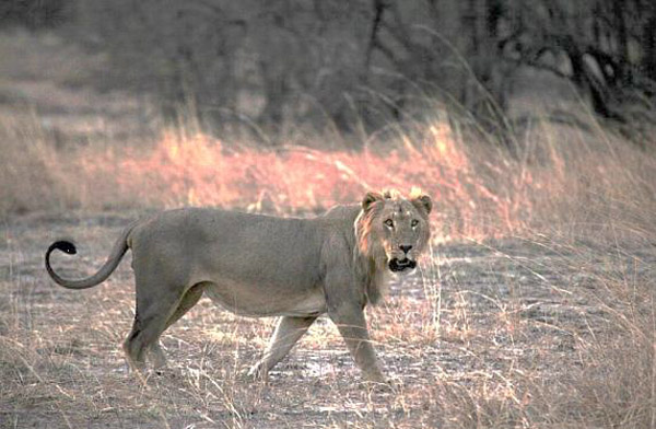A male lion in Pendjari National Park in Benin (part of the W-Arly-Pendjari complex located in Benin, Burkina Faso, and Niger). Photo credit: Philipp Henschel/Panthera.