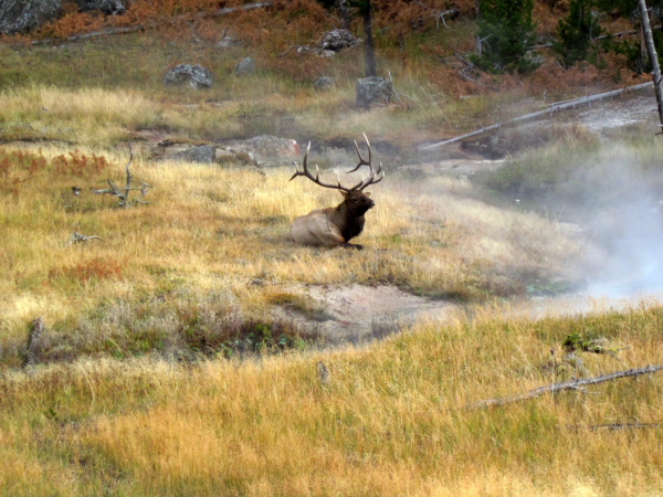 A bull elk rests along a stream in northern Yellowstone National Park. Elk numbers in the area have declined as wolves and grizzly bears have rebounded. Photo credit: Kristin Marshall.