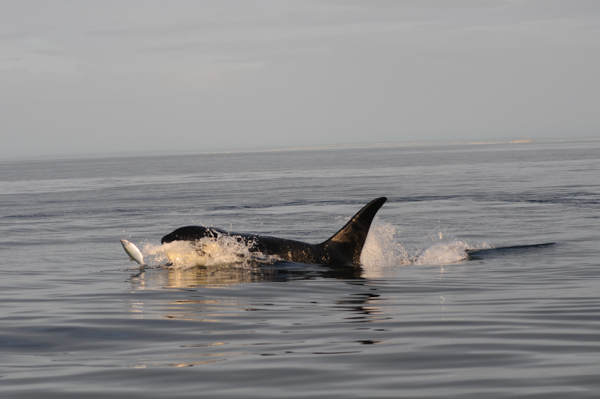 A killer whale eats a salmon near the San Juan Islands off the coast of Washington state. Chinook salmon, which are protected under the Endangered Species Act, are the favored food for the area's Southern Resident killer whales, another protected species. Photo credit: Candice Emmons, NOAA Fisheries/Northwest Fisheries Science Center.