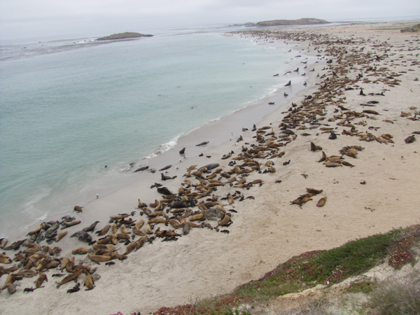 A California sea lion rookery in the Channel Islands off the California coast. The species, while still facing serious challenges, has rebounded from around 10,000 animals in the 1950s to around 355,000 today. Photo credit: NOAA Fisheries/Alaska Fisheries Science Center.