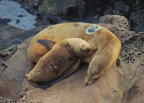 A female California sea lion bearing a satellite tag tends to her pup. Photo credit: NOAA Fisheries/Alaska Fisheries Science Center.