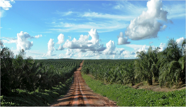 Oil palm plantation in Papua, Indonesia. The country lost 1 million hectares of forest cover in 2013, according to one estimate. Photo credit: Agus Andrianto/ CIFOR.