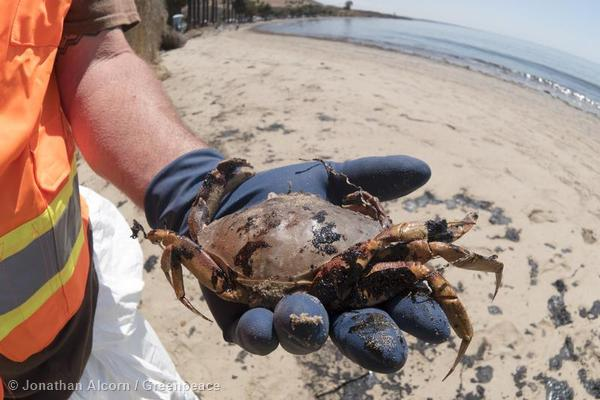 A clean-up worker displays a dead, oiled crab on Refugio State Beach on Wednesday, May 20, 2015. Photo credit: Jonathan Alcorn/Greenpeace.