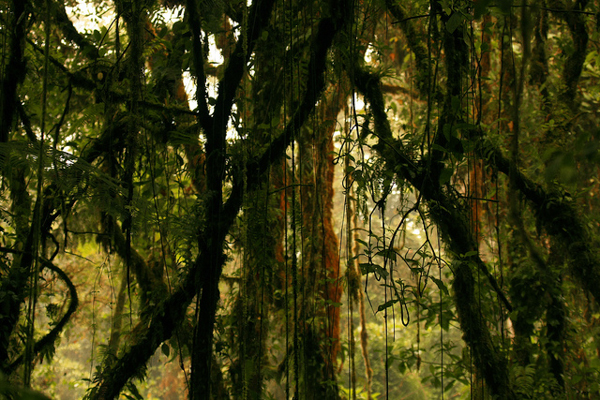 Lianas, climbing woody vines, can harm rainforest trees, particularly young saplings. Credit: Alex eflon.