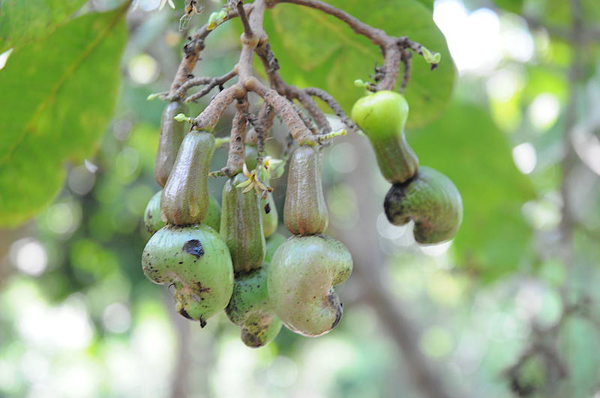 Cashew nuts grow in the Mamirauá Sustainable Development Reserve in the Brazilian Amazon. Photo by: P.J. Stephenson.