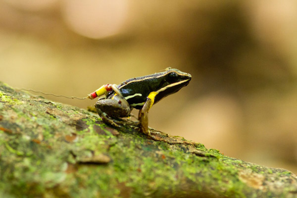 Homing frog. Male brilliant-thighed poison frog (Allobates femoralis) equipped with a tracking device returning home after an experimental translocating. Note the tiny springtail hitchhiking on the head. Photo credit: Femoralis Project.