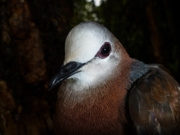 Lemon dove, Columba larvata, is secretive forest specialist in Ethiopia. Photo credit: Evan Buechley.