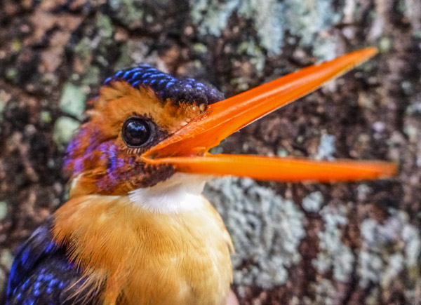 African pygmy kingfisher Ispidina picta, an insect-eating bird frequently found on shade coffee farms. Photo credit: Evan Buechley.