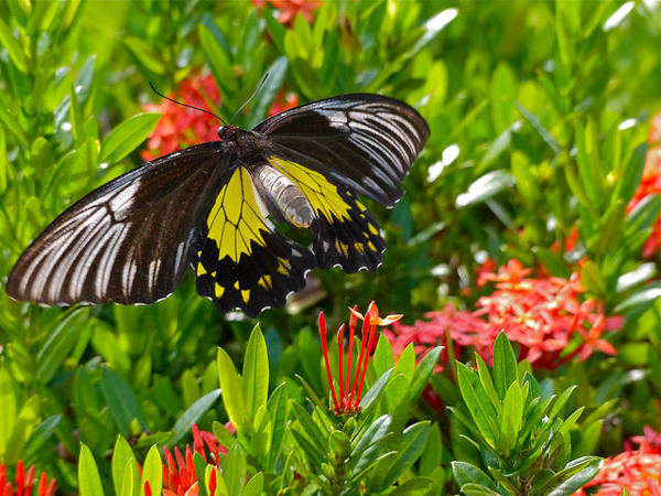 A butterfly in Malaysia. Photo credit: Bernard DUPONT.