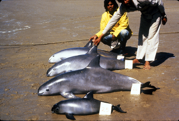 Four vaquitas found dead in fishing nets are displayed on a Mexican beach in this undated photo. Photo credit: Alejandro Robles.