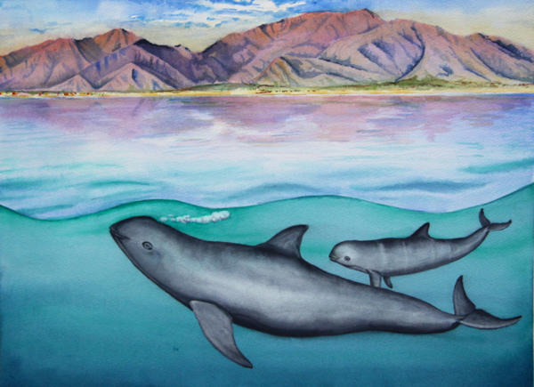 A vaquita mother and calf swim off San Felipe, Mexico, in happier days in this painting by Barbara Taylor of NOAA, who co-leads scientific assessment of the species. Credit: Barbara Taylor.