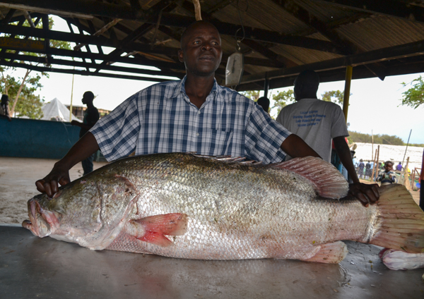 A blessing or a disaster? Moris Okulo, an ecologist and lake guide, displays a Nile perch weighing 64 pounds. Carnivorous and fast-growing, Nile perch were introduced to Lake Victoria decades ago as a food source, but they quickly wiped out many native fish species. Photo credit: Isaiah Esipisu.