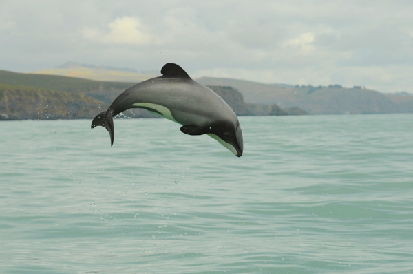 A New Zealand dolphin, one of whose two subspecies, the Maui's dolphin, is critically endangered with a quickly diminishing population. Photo credit: Steve Dawson/NABU International Foundation for Nature.
