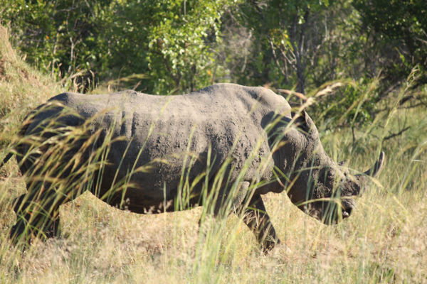 A rhino spied from the road in Kruger National park. Photo credit: Mic Smith.