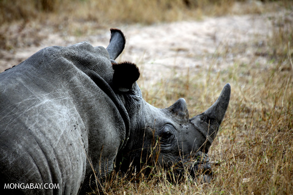 A white rhinoceros rests in Kruger National Park, South Africa, the epicenter of a spate of rhino poaching. Photo credit: Rhett A. Butler.