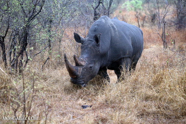 A white rhinoceros in Kruger National Park. Photo credit: Rhett A. Butler.
