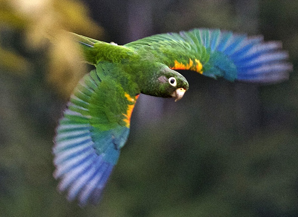 An endangered Santa Marta parakeet takes flight. 148 acres of land that supports the bird's largest breeding population was recently purchased with help from the new fund. Photo credit: Andy Bunting.
