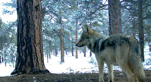 A member of the Luna pack of wild Mexican gray wolves, in 2011. Photo credit: Mexican Wolf Interagency Field Team.