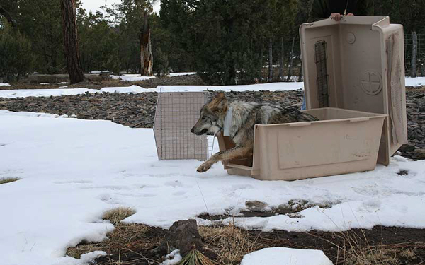 A Mexican gray wolf is released into Gila National Forest, within the Blue Range Wolf Recovery Area in New Mexico, in 2010. Photo credit: Mexican Wolf Interagency Field Team.