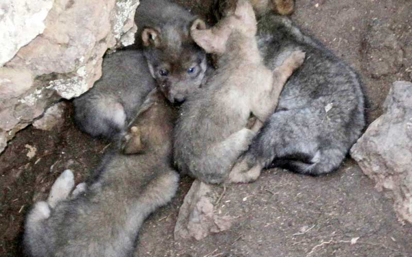 Wild Mexican wolf pups. Photo credit: Mexican Wolf Interagency Field Team.