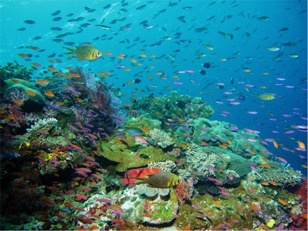 Coral reefs, such as this one in Fiji's Namena Marine Reserve, support about a quarter of all known marine species. Photo credit: Coral Reef Alliance.