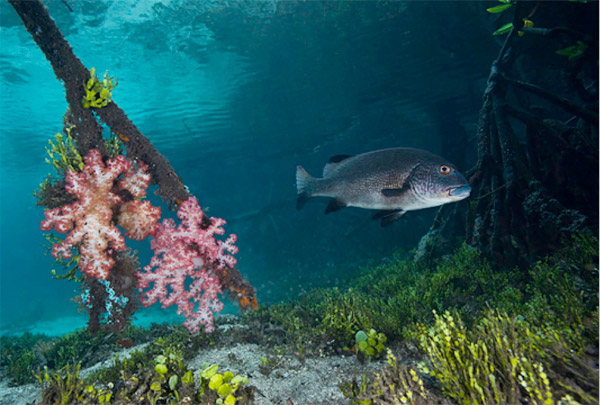 Soft corals attached to a mangrove root in Indonesia: Photo credit: ©David Hall / seaphotos.com