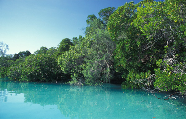 Mangroves in the Seychelles. Since the 1980s between 20-35 percent of mangroves have been destroyed worldwide Photo credit: ©David Hall / seaphotos.com