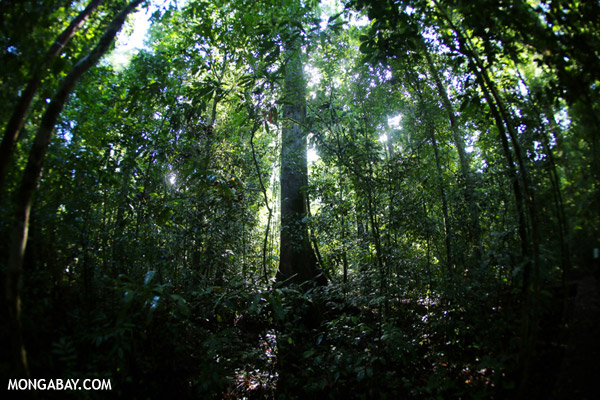 A rainforest in Borneo. Photo credit: Rhett Butler.