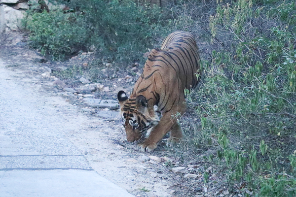 Ustad sniffs the area where he killed Saini on May 8, 2015, after authorities recovered Saini's body. Photo credit: Dharmendra Khandal.