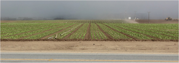 Vegetables grow in Salinas, California. Photo credit: David Gonthier.
