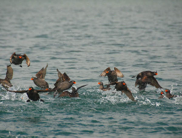 Crested Auklets in Russia's Kuril Islands. Photo credit: Austronesian Expeditions.