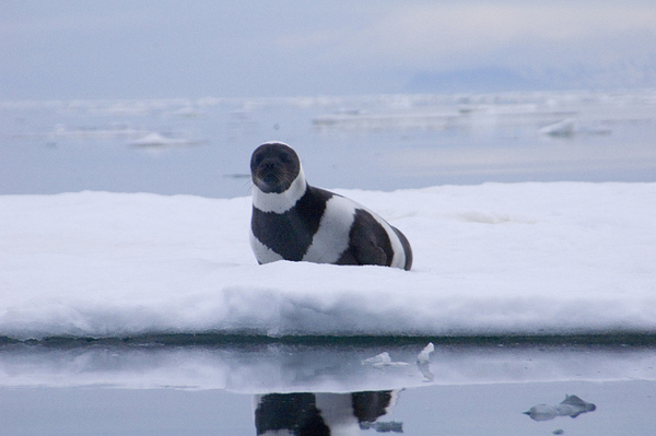 An adult male ribbon seal in eastern Russia's Ozernoy Gulf. Ribbon seals and other marine mammals can become entangled and drown in driftnet fishing gear. Photo credit: Michael Cameron, NOAA/NMFS/AKFSC/NMML.