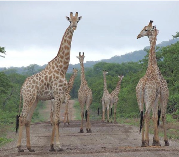 A tower, or herd, of giraffes in a wildlife reserve adjacent to Gonarezhou National Park, Zimbabwe. The community living near the park had a neutral perception of wildlife conservation and a negative perception of tourism. Communities near the three other protected areas studied in the new paper shared that view of tourism, but had positive views of wildlife conservation. Photo credit: Gonarezhou Conservation Project/Patience Gandiwa.