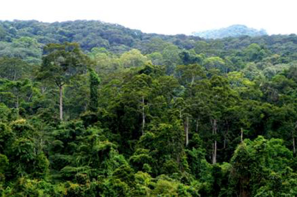 Lowland Forest profile characteristic of southern Yunnan Province's threatened rainforests. Image Credit: Hua Zhu, 2008, Tropical Conservation Science.