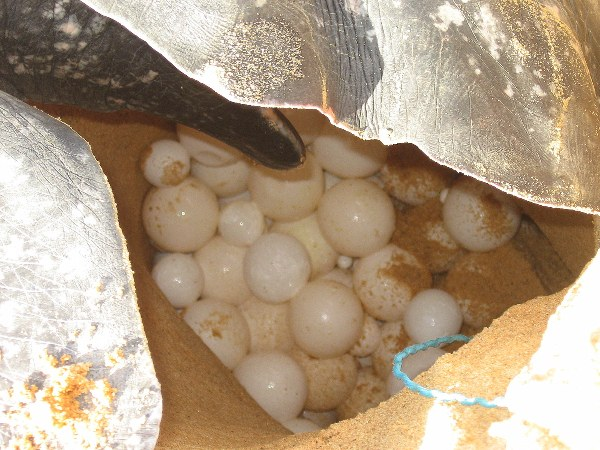 Fresh-laid leatherback eggs. Sea turtle eggs are considered an aphrodisiac and sell illegally for as much as $1 each in Costa Rica. Photo credit: Tiffany Roufs.